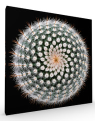 Stretched Canvas Notocactus scopa by Victor Mozqueda