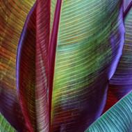 Art Print Banana Skin by Francois Casanova