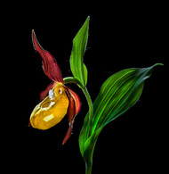 Art Print - Lady Slipper Orchid by Nora De Angelli