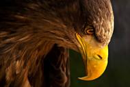 Eagle Pursues Prey by Adriana K.H, Art Print