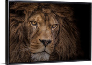Brink of Extinction by Ashley Vincent Lion Wall Art Float Frame