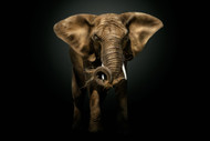The Master, Elephant Wildlife Art Print by Pedro Jarque