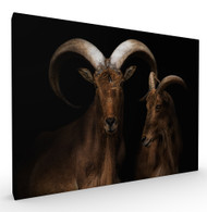 Mr and Mrs Goat Wildlife Art Print by Pedro Jarque, Stretched Canvas