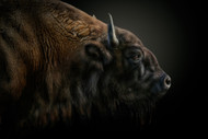 The Last of the Mohicans Wildlife Art Print by Pedro Jarque