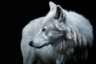 Winter is Coming Wildlife Art Print by Pedro Jarque