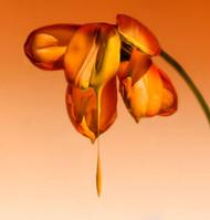 Tears of a Flower by Kent Mathiesen Art Print