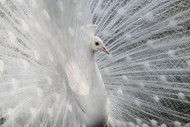 As White As Snow By Victoria Ivanova Wildlife Print