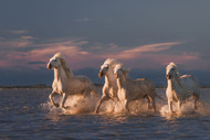 Angels of Camargue by Anton Rostovskiy Wildlife Print