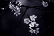 Petite Fleur de Mes Nuits by Celine M Floral Print