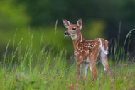 Spring Fawn by Nick Kalathas Wildlife Print
