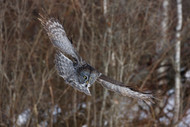 Great Grey by Peter Stahl Wildlife Print