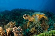 Hawksbill Sea Turtle by Ilan Ben Tov Wildlife Print