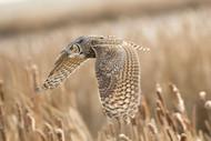 Great Horned Owl by Peter Stahl Wildlife Print