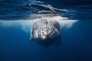 Face to Face with Humpback Whale by Baratheui Gabriel Marine Print