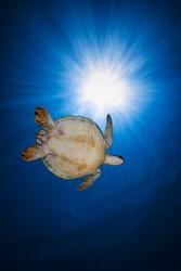 Green Turtle by Baratheui Gabriel Marine Print