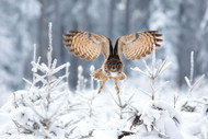 Eurasian Eagle-Owl by Milan Zygmunt Wildlife