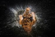 Tiger Splash by Win Leslee Wildlife