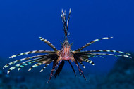 Lionfish by Anna Shvab Wildlife