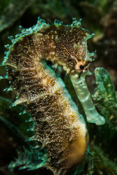 Spiny Seahorse by Anna Shvab Marine