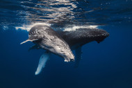 Humpback Whale Family by Baratheui Gabriel Marine