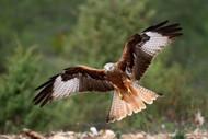 The Wings of the Red Kite by Nicolas Merino Wildlife