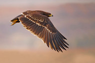 Wildlife Print Greater Spotted Eagle by Shlomo Waldmann