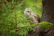 Wildlife Print Ural Owl by Milan Zygmunt