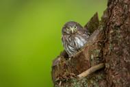 Wildlife Print Eurasian Pygmy Owl by Milan Zygmunt