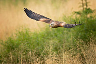 Wildlife Print Red Kite by Milan Zygmunt