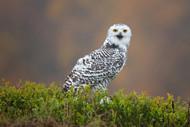 Wildlife Print Snowy Owl by Milan Zygmunt