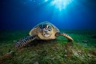 Green Turtle by Barathieu Gabriel Wildlife Print