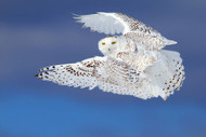Flight of the Snowy - Snowy Owl by Jim Cunning Wildlife Print