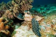 Sea Turtle by Ian Ben Tov Wildlife Print