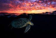 Wildlife Print Sunset Turtle by Baratheui Gabriel