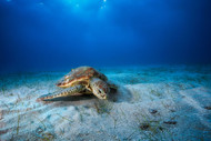 Green Turtle in the Blue by Baratheui Gabriel Marine