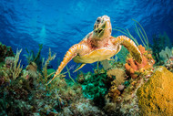 Hawksbill Turtle Swimming Through Caribbean Reef by Jan Abadschieff