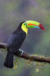 Keel-Billed Toucan by Jim Cumming Wildlife Print