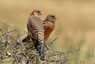 Kestrels Couple by Nicolas Merino Wildlife