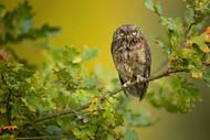 Eurasian Scops Owl by Milan Zygmunt Wildlife Print
