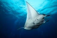 Manta Fly by Roberto Marchegiani Marine