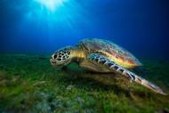 Green Turtle II by Baratheui Gabriel Marine