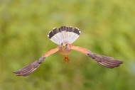 Lesser Kestrel by Shlomo Waldmann Wildlife