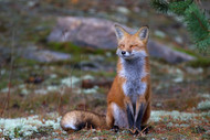 Fox Zen by Jim Cunning Wildlife
