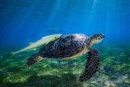 Sea Turtle by Barathieu Gabriel Marine Print