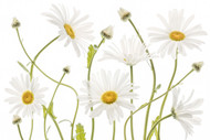 Ox Eye Daisies by Mandy Disher Floral