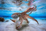 Dancing Octopus by Baratheui Gabriel Wildlife