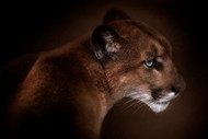 Puma by Doris Reindhl Wildlife