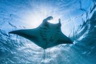 Manta Ray by Baratheui Gabriel Wildlife