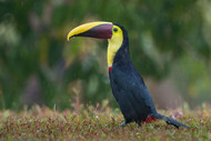 Rainy Toucan by Greg Barsh Wildlife
