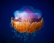 Fried Egg Jellyfish by Lucky Guy Wildlife Print